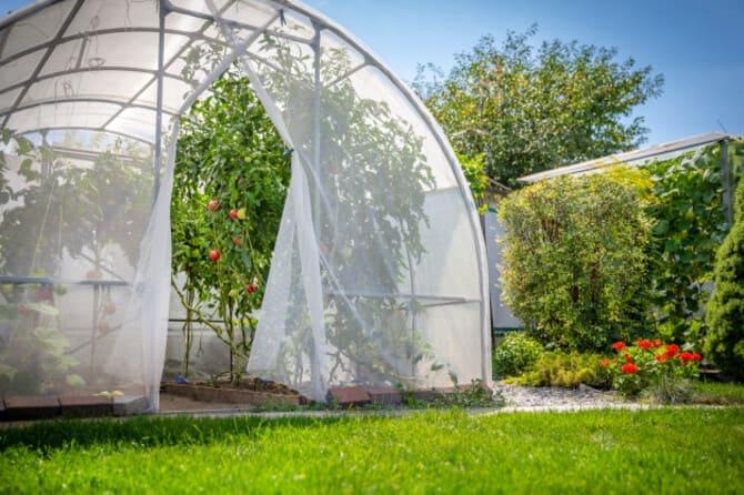 Фото помидоров в парнике