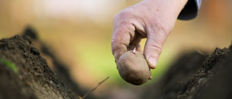 Фото посадки картофеля