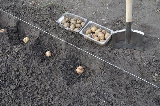 Фото посадки картошки