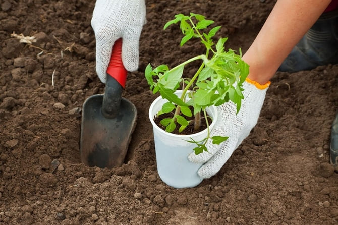 Фото посадки томатов