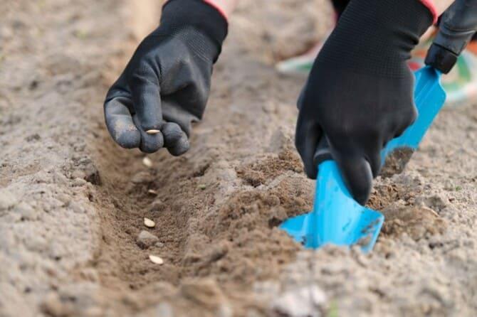 Фото посадки тыквы