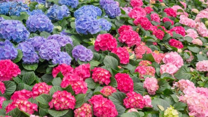 Фото разноцветной гортензии