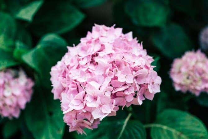 Фото розовой гортензии