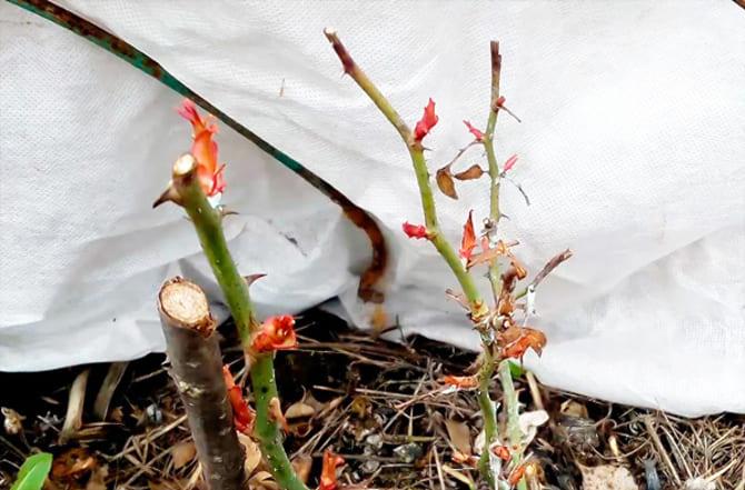 Фото роз под укрытием