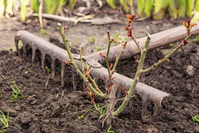 Фото рыхления почвы под розами