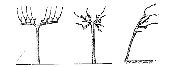 Схема штамбовой обрезки