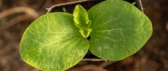 Фото саженца тыквы
