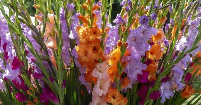 Фото цветения гладиолусов