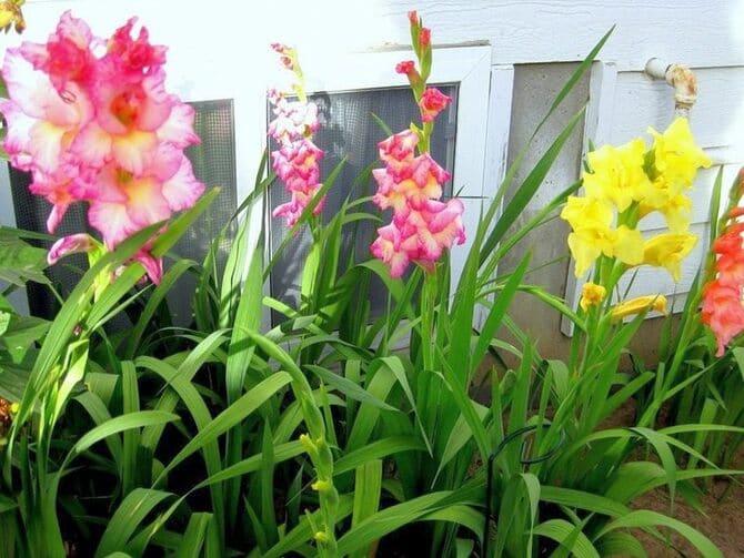 Фото цветных гладиолусов