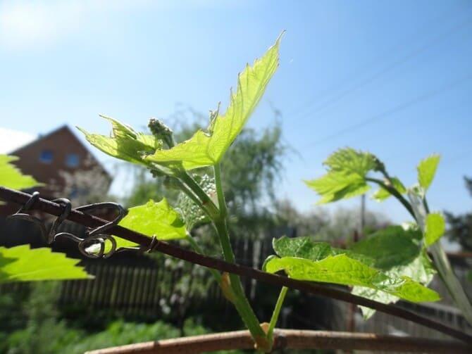 Фото винограда в мае