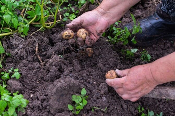 Фото выкапывания картошки