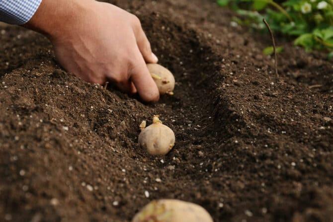 Фото высадки картофеля