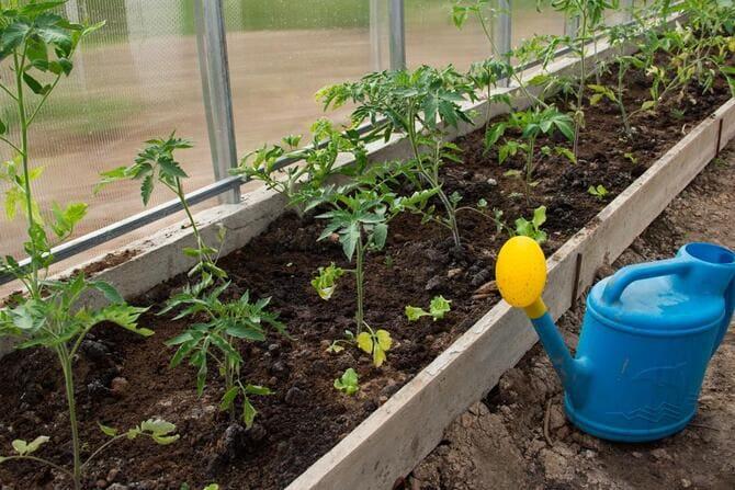 Фото высадки помидоров в теплицу
