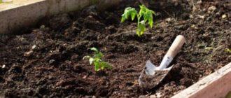 Фото высадки томатов_главная
