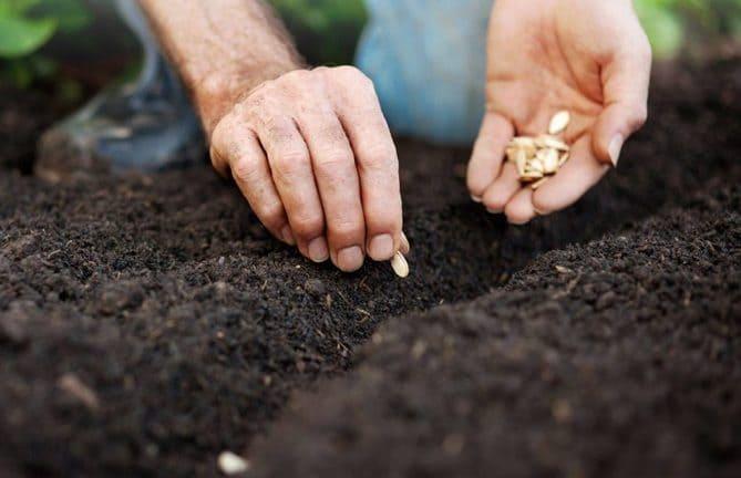 Фото высадки тыквы