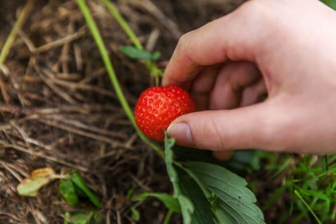 Фото ягоды клубники