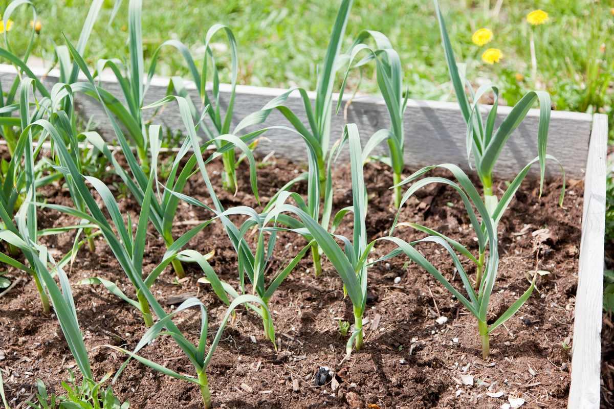 Чем подкормить чеснок в июне для большого урожая