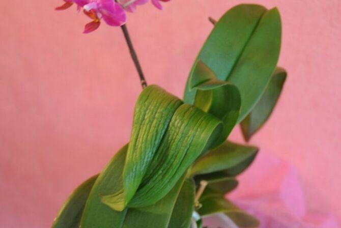 Фото больной орхидеи