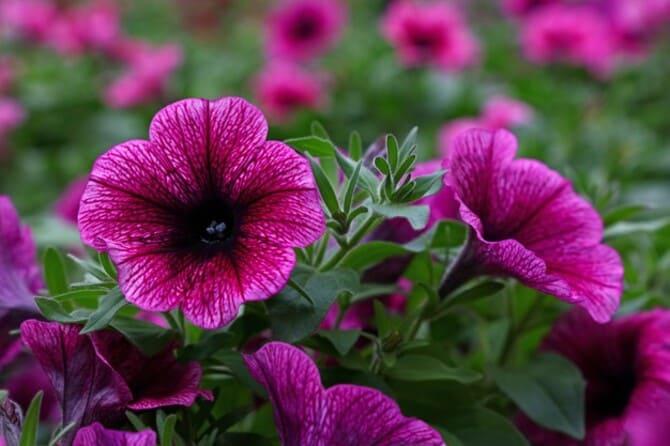 Фото фиолетовой петунии