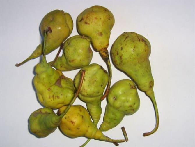 Фото каменистости плодов