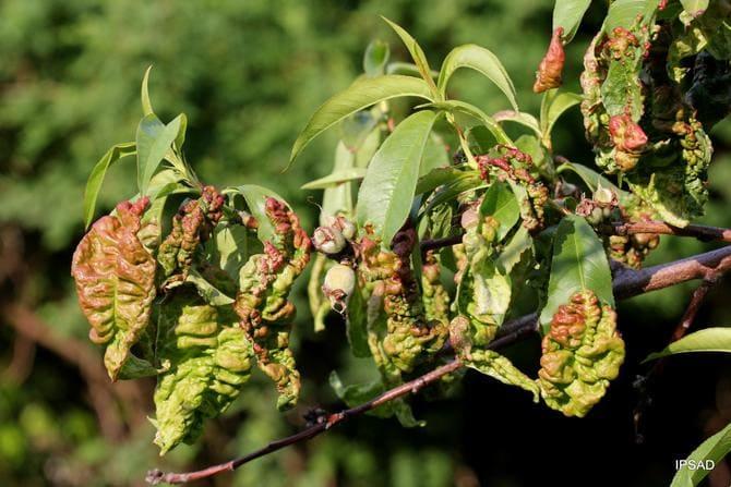 Фото курчавости листьев персика