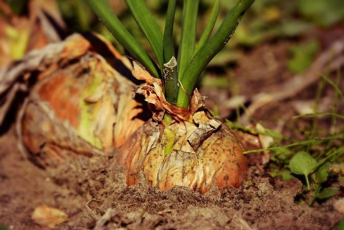 Фото луковицы