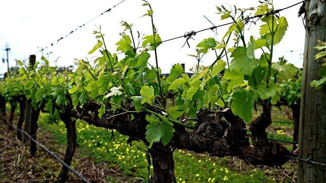 Фото молодого винограда