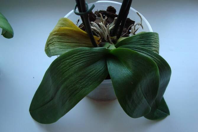 Фото мягких листьев орхидеи