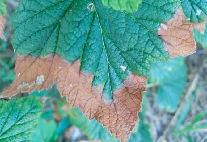 Фото некроза листьев