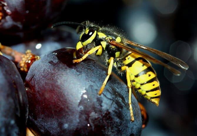 Фото осы