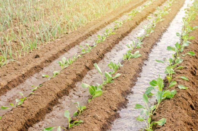 Фото плантации капусты