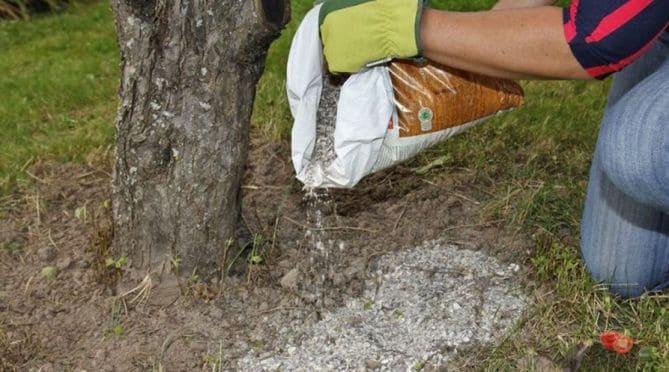 Фото подкормки взрослых деревьев