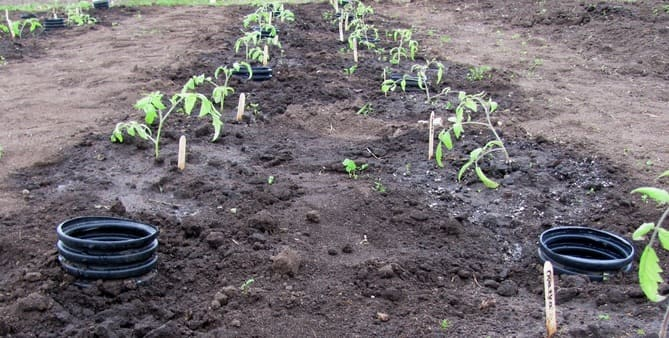 Фото помидоров на огороде