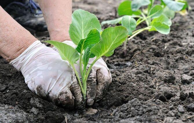 Фото посадки капусты