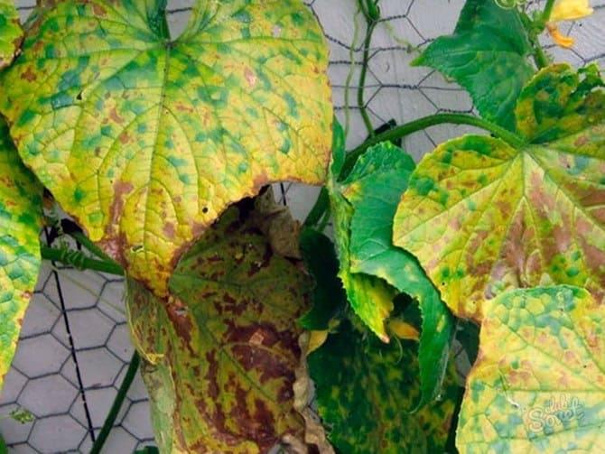 Фото пожелтения листьев огурцов