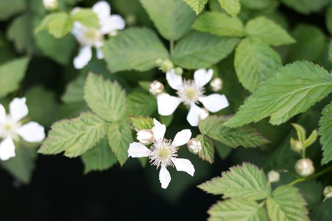Фото цветения малины