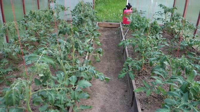 Фото помидоров в теплице