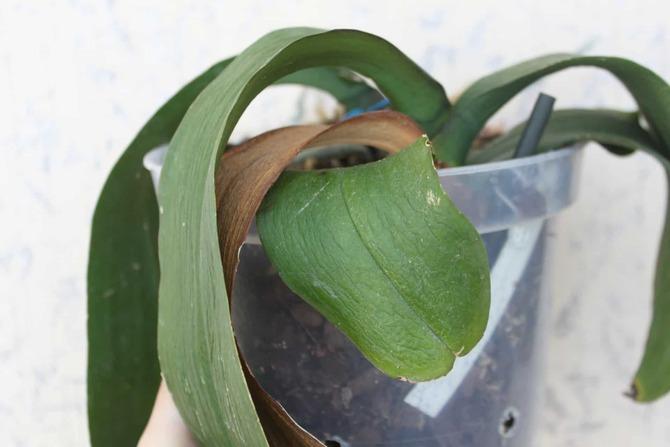 Фото вялых листьев орхидеи