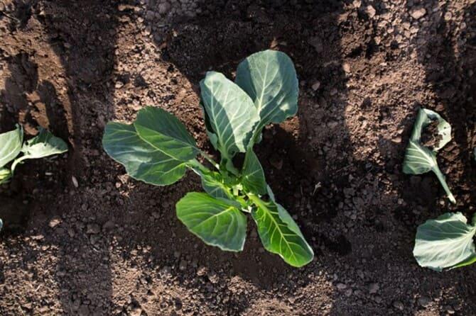 Фото высаженной капусты