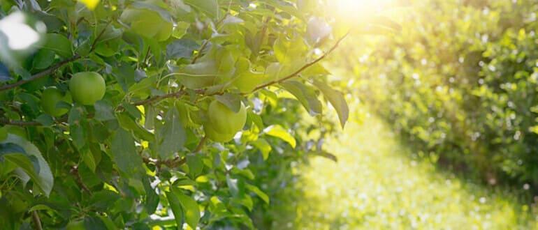 Фото яблока_главная