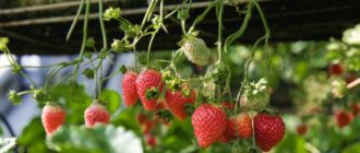 Фото ягод на весу_главная