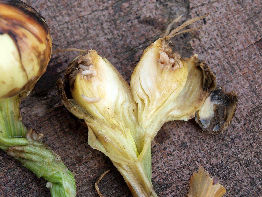 Почему лук желтеет в июне на грядках, что делать