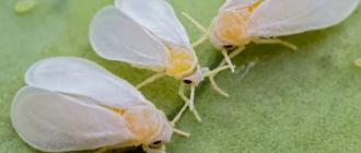 Как избавиться от белокрылки на капусте