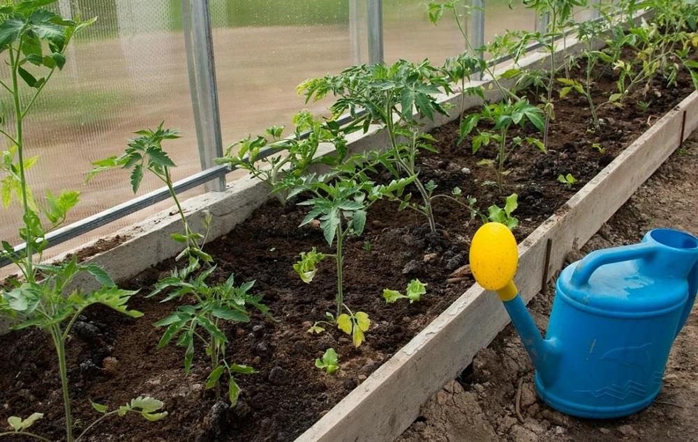 Чем лучше опрыскать помидоры для завязи в теплице