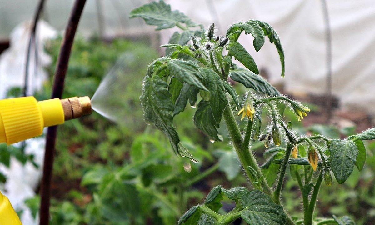 опрыскиваем помидоры