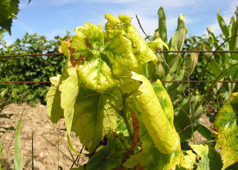 Как и чем лечить хлороз винограда