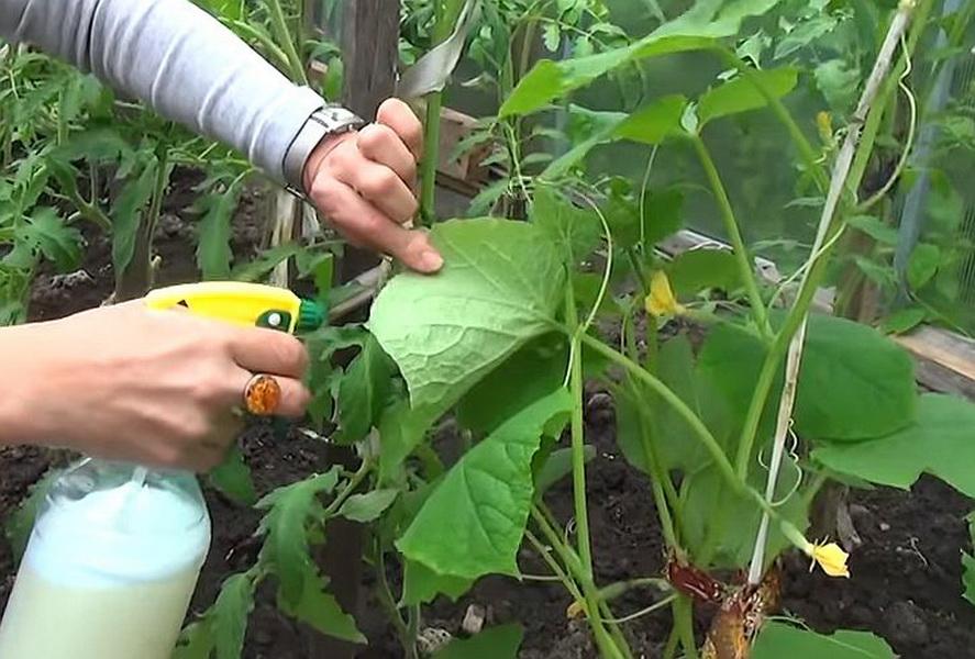 Как избавиться от паутинного клеща на огурцах в теплице