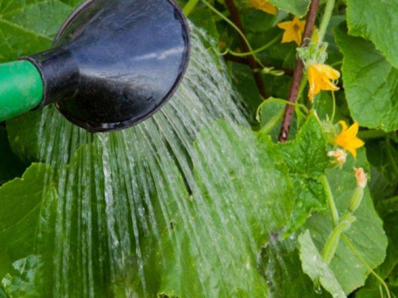 Почему огурцы растут крючком и чем можно подкормить