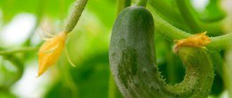Огурцы растут крючком