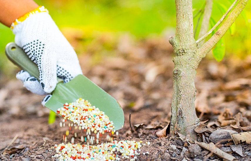 Почему опадают плоды сливы до созревания и что делать